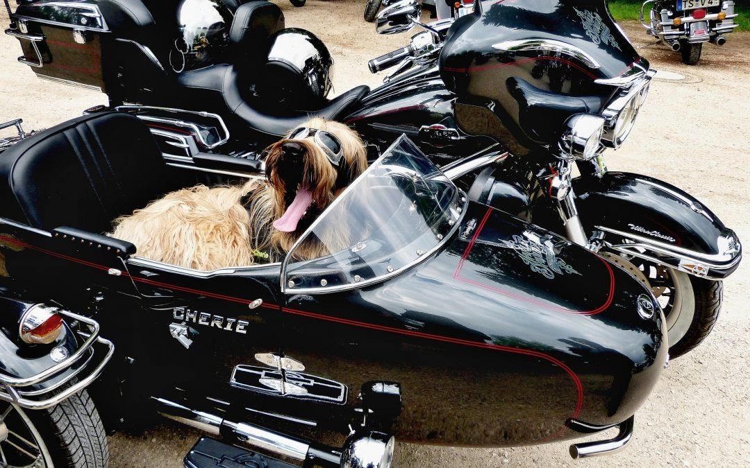 Bien plus qu'un animal de compagnie…Les chiens à moto, des souvenirs en banque